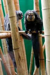 #3431 White-faced Saki - Dublin Zoo (Ireland)