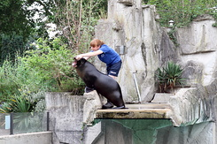 #4004 California Sea Lion - Artis Royal Zoo Amsterdam (Holland)