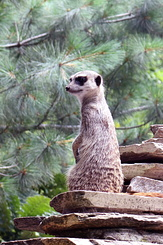 #4005 Meerkat - Artis Royal Zoo Amsterdam (Holland)