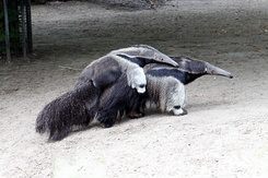 #4007 Giant Anteater with Young - Artis Royal Zoo Amsterdam (Holland)