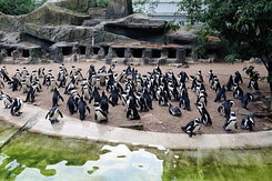 #4010 African Penguins - Artis Royal Zoo Amsterdam (Holland)