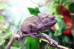 #4022 Chameleon - Artis Royal Zoo Amsterdam (Holland)