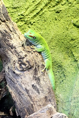 #4023 Madagascar Day Gecko - Artis Royal Zoo Amsterdam (Holland)