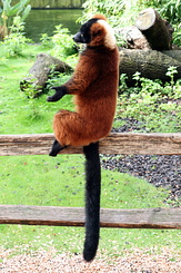 #4025 Red Ruffed Lemur - Artis Royal Zoo Amsterdam (Holland)