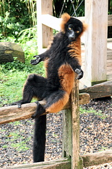 #4026 Red Ruffed Lemur - Artis Royal Zoo Amsterdam (Holland)