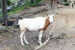 #4027 Scimitar-horned Oryx - Artis Royal Zoo Amsterdam (Holland)