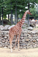 #4030 Reticulated Giraffe - Artis Royal Zoo Amsterdam (Holland)