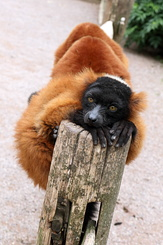 #4982 Red Ruffed Lemur - Artis Royal Zoo Amsterdam (Holland)