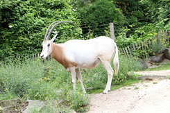 #4987 Scimitar-horned Oryx - Artis Royal Zoo Amsterdam (Holland)