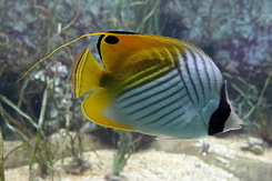 #4990 Threadfin Butterflyfish - Artis Royal Zoo Amsterdam (Holland)