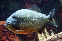 #4993 Red-bellied Piranha - Artis Royal Zoo Amsterdam (Holland)