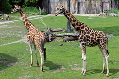 #5010 Rothschild's Giraffes - Zoo Leipzig (Germany)