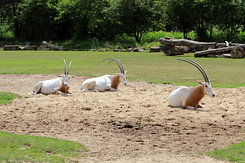 #5013 Scimitar Oryx - Zoo Leipzig (Germany)