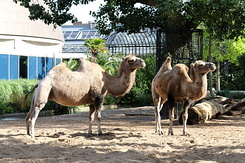 #5017 Bactrian Camels - Artis Royal Zoo Amsterdam (Holland)