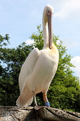 #5023 Great White Pelican - Artis Royal Zoo Amsterdam (Holland)