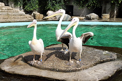 #5029 Great White Pelicans - Artis Royal Zoo Amsterdam (Holland)