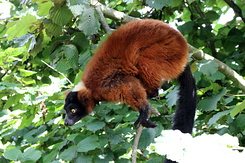 #5030 Red Ruffed Lemur - Artis Royal Zoo Amsterdam (Holland)