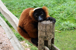#5037 Red Ruffed Lemur - Artis Royal Zoo Amsterdam (Holland)