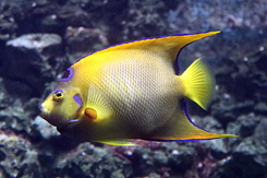 #5325 Queen Angelfish - Artis Royal Zoo Amsterdam (Holland)