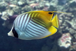 #5330 Threadfin Butterflyfish - Artis Royal Zoo Amsterdam (Holland)