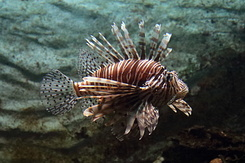 #5331 Red Lionfish - Artis Royal Zoo Amsterdam (Holland)