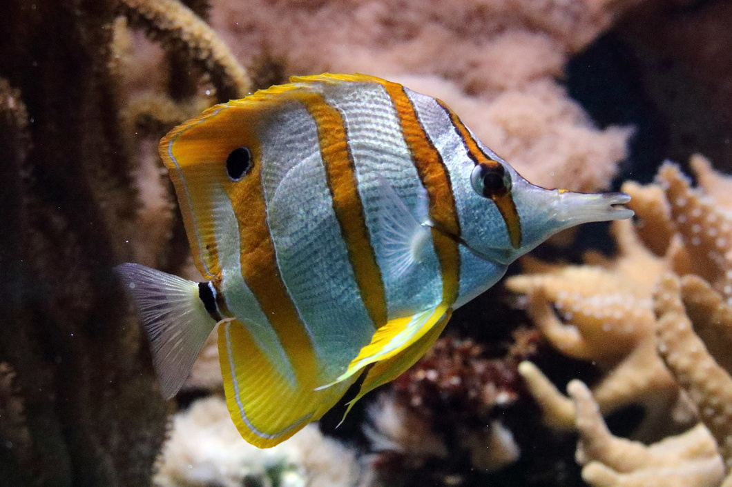 #5332 Copperband Butterflyfish - Artis Royal Zoo Amsterdam (Holland)
