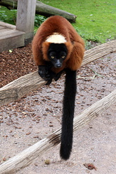 #5341 Red Ruffed Lemur - Artis Royal Zoo Amsterdam (Holland)