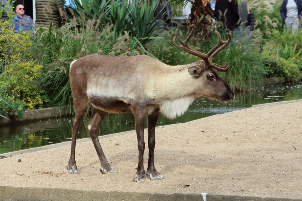#5342 Reindeer - Artis Royal Zoo Amsterdam (Holland)