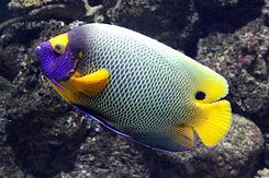 #5427 Blueface Angelfish - Antwerp Zoo (Belgium)