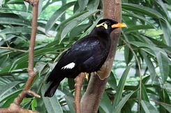 #5483 Common Hill Myna - Antwerp Zoo (Belgium)
