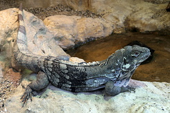#5620 Ctenosaura Palearis - Artis Royal Zoo Amsterdam (Holland)