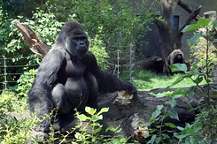 #5625 Western Lowland Gorillas - Artis Royal Zoo Amsterdam (Holland)