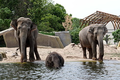 #5630 Asian Elephants - Artis Royal Zoo Amsterdam (Holland)