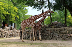 #5631 Reticulated Giraffes - Artis Royal Zoo Amsterdam (Holland)