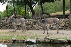 #5635 Grévy's Zebras - Artis Royal Zoo Amsterdam (Holland)