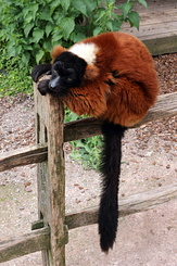 #5637 Red Ruffed Lemur - Artis Royal Zoo Amsterdam (Holland)